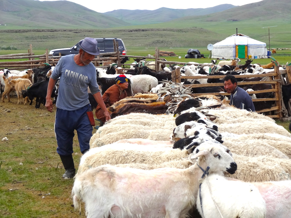 milking herds Mongolia